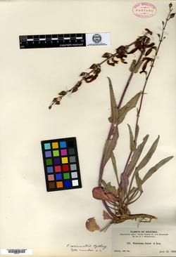 Image of Penstemon coccinatus