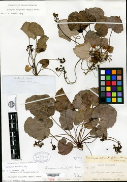 Image of Wulfenia rotundifolia