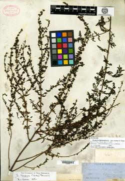 Seymeria bipinnatisecta image