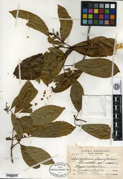 Image of Symplocos flavifolia