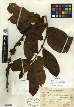 Image of Symplocos tacanensis