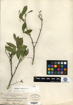 Image of Daphnopsis brevifolia
