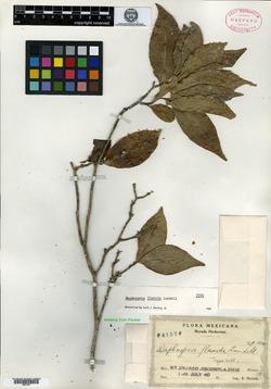 Image of Daphnopsis flavida