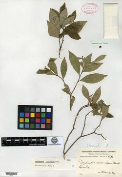 Image of Daphnopsis liebmannii