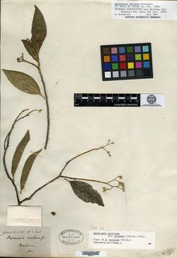 Image of Daphnopsis caribaea