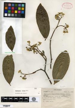 Image of Daphnopsis mexiae