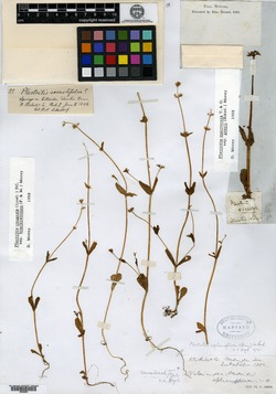 Image of Plectritis aphanoptera