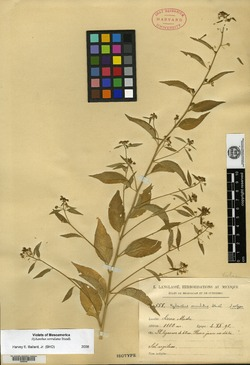 Image of Hybanthus serrulatus