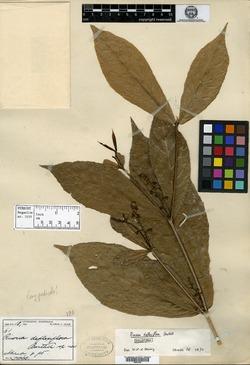 Image of Rinorea deflexiflora
