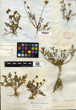 Image of Viola chrysantha