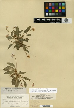 Image of Viola gomphopetala