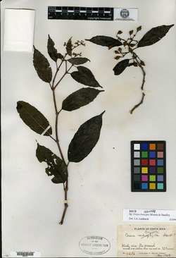 Image of Cissus brevipes