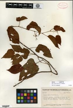 Image of Cissus cacuminis