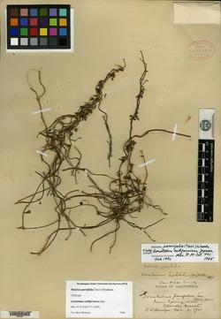 Matelea parvifolia image
