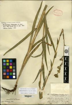 Image of Anisocarpus bolanderi