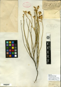 Image of Bigelowia juncea
