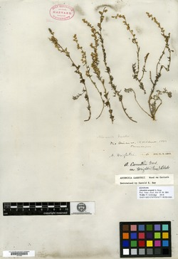 Image of Artemisia wrightii