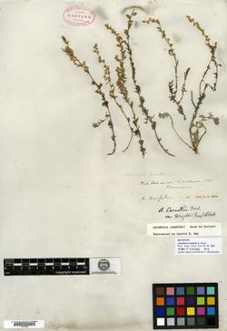 Image of Artemisia wrightii