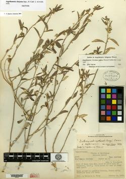 Argythamnia clariana image