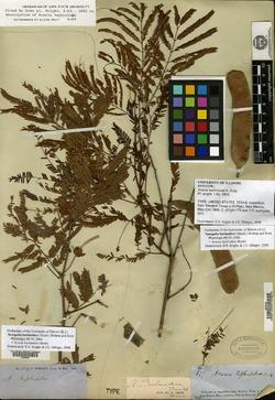 Image of Acacia tephroloba