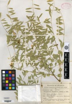 Image of Brongniartia tenuifolia
