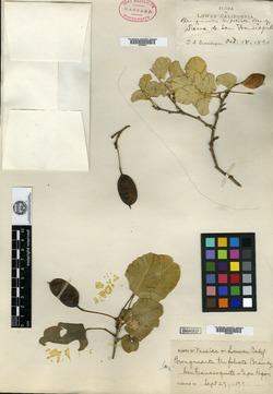 Image of Brongniartia trifoliata