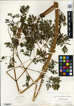 Corydalis allenii image