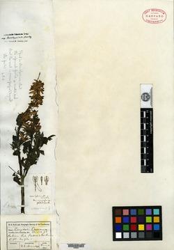 Corydalis brandegei image