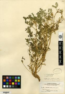 Corydalis gooddingii image