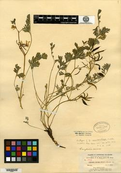 Image of Corydalis macrorrhiza