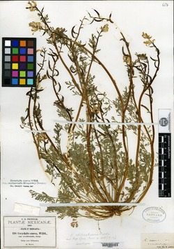 Image of Corydalis chihuahuana