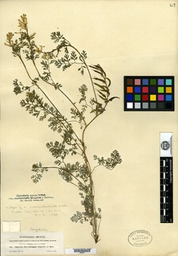 Image of Corydalis crassipedicellata