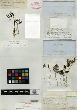 Dicentra uniflora image