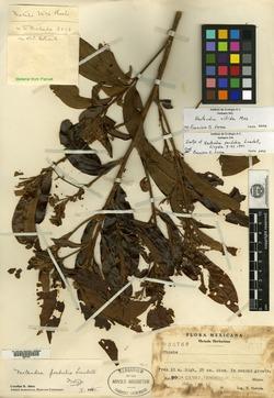 Image of Nectandra perdubia