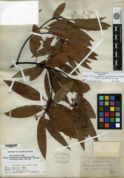 Persea podadenia image