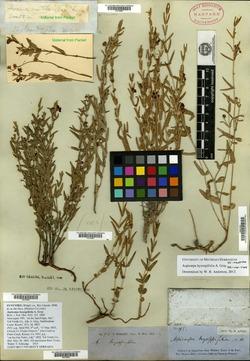 Image of Aspicarpa hyssopifolia