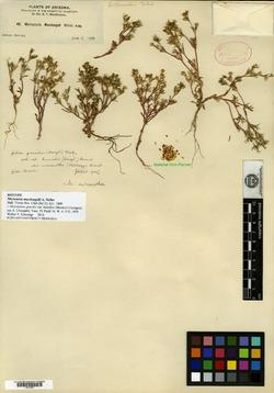 Image of Microsteris macdougalii