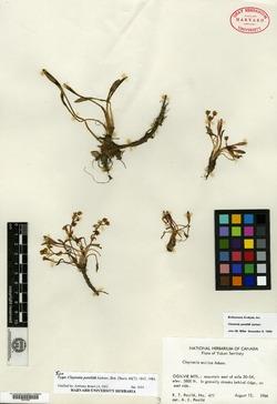 Image of Claytonia porsildii