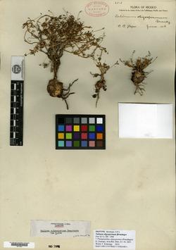 Image of Phemeranthus oligospermus