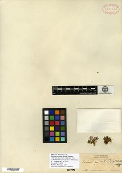 Image of Talinum parvulum