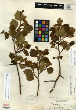 Image of Crataegus aboriginum