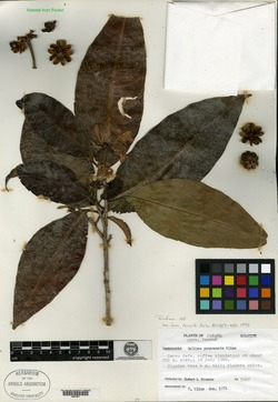 Galipea panamensis image