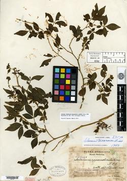 Solanum tacanense image