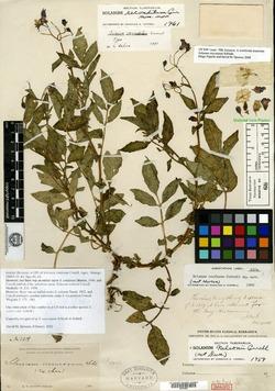 Image of Solanum confusum