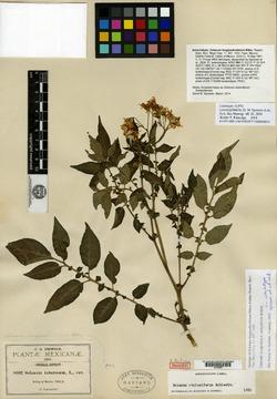 Image of Solanum longipedicellatum