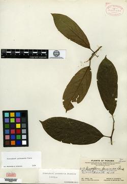 Image of Discophora guianensis