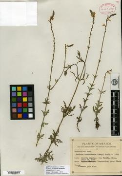 Verbena pinetorum image
