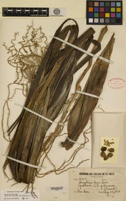 Image of Roystonea lenis
