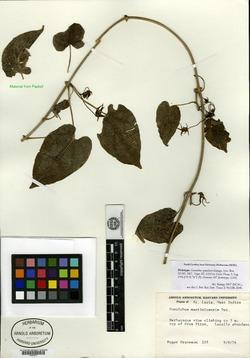Image of Gonolobus iyanolensis