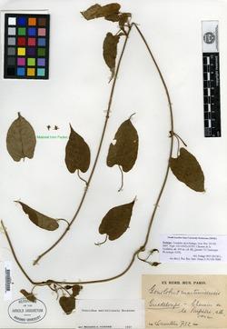 Image of Gonolobus dussii